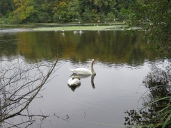 Swans in the Swan Pond.