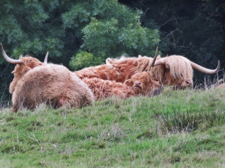 Highland Cows at Stirling Castle